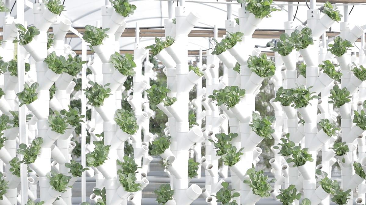 Insalate coltivate in acquaponica