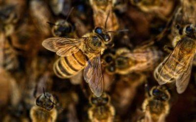 Bee Safe: le iniziative del WWF per salvare le api nella provincia di Ancona