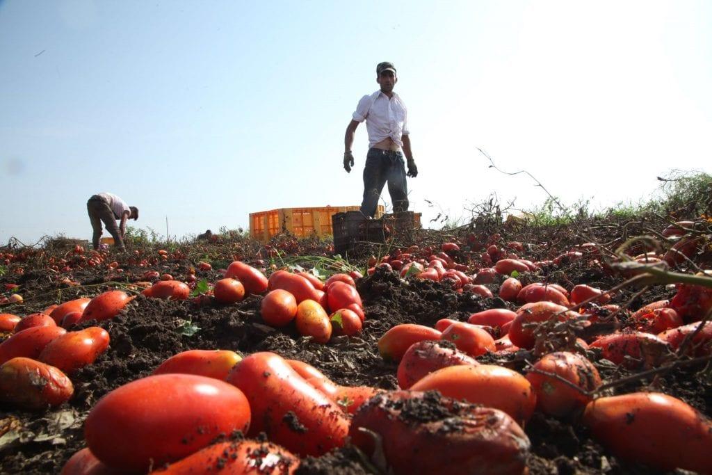 Un uomo raccoglie pomodori