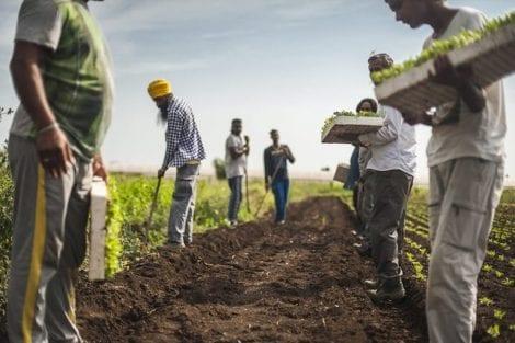 Braccianti al lavoro nei campi