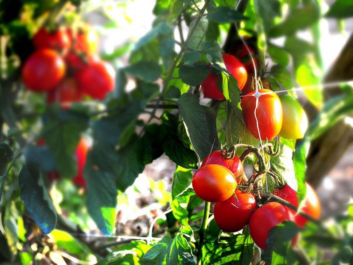 I pomodori di Don Alfonso