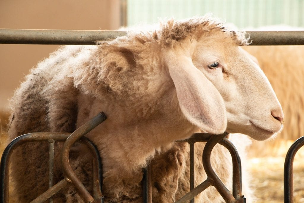 Una pecora in stalla