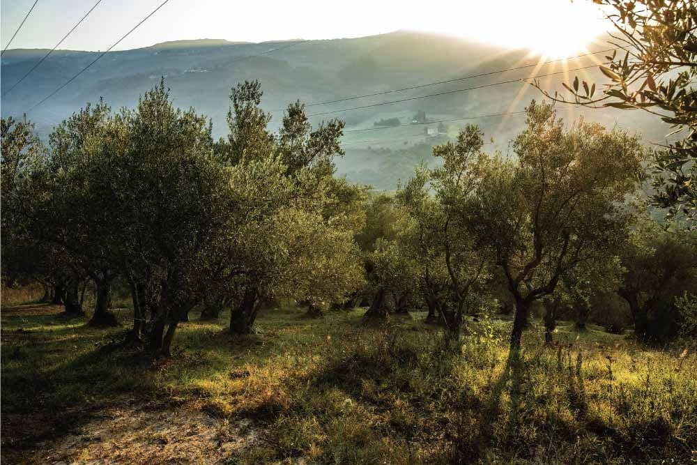 Olivi alle Terre di Molinara