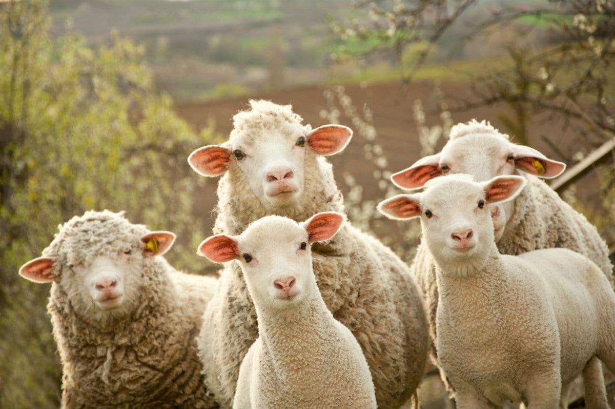 Pecore e agnelli