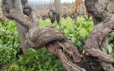 I vini del vulcano: l'Etna, le sue vigne e le sue migliori etichette