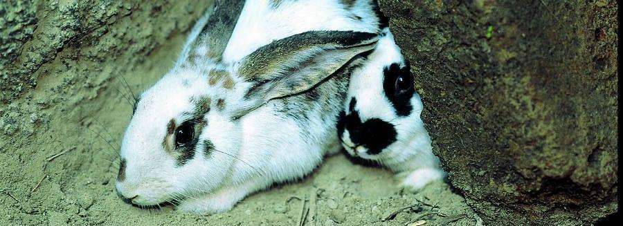 Coniglio di fosso dell'isola di Ischia