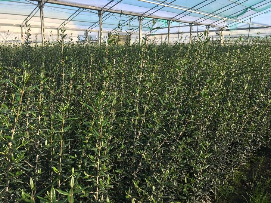 piante spoolivi