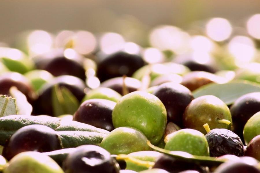 cultivar siciliane