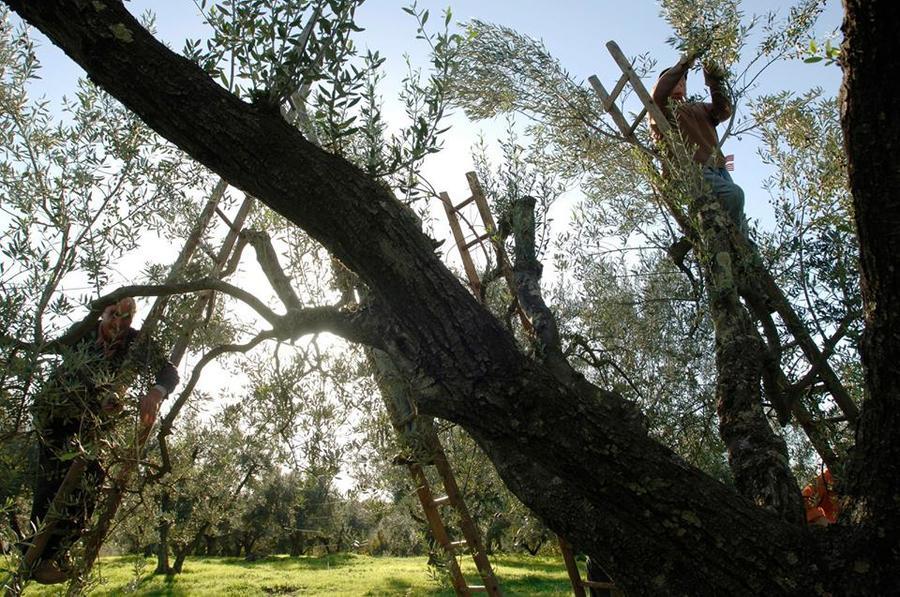 Colli Etruschi, raccolta