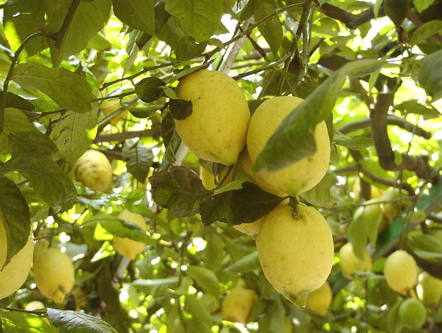 Limone di Amalfi o Sfusato amalfitano