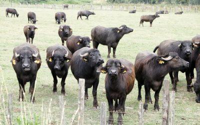 Bufale da latte al pascolo