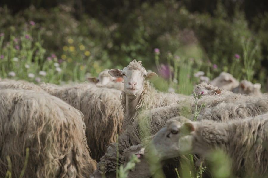 Un gragge di pecore nel verde, con manti in primo piano e una pecora che guarda verso di noi