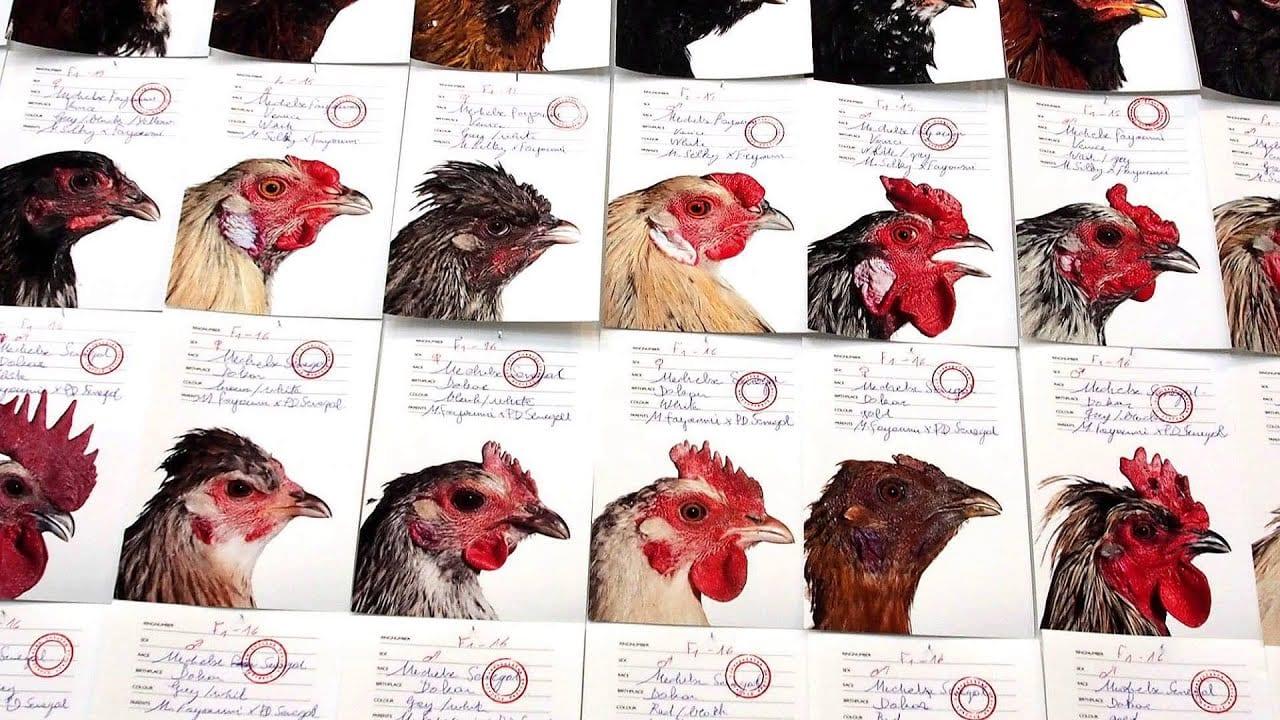 I polli del Cosmopolitan Chicken Project