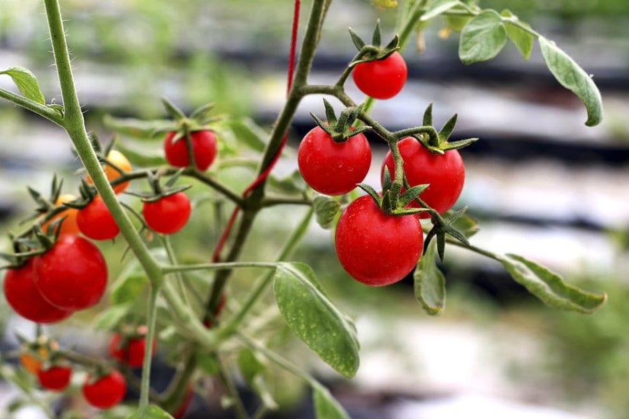 Pomodori coltivati in acquaponica dall'azienda agricola The Circle di Roma