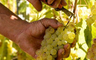 In viaggio. San Gimignano e la Vernaccia, il vino con sette secoli di storia