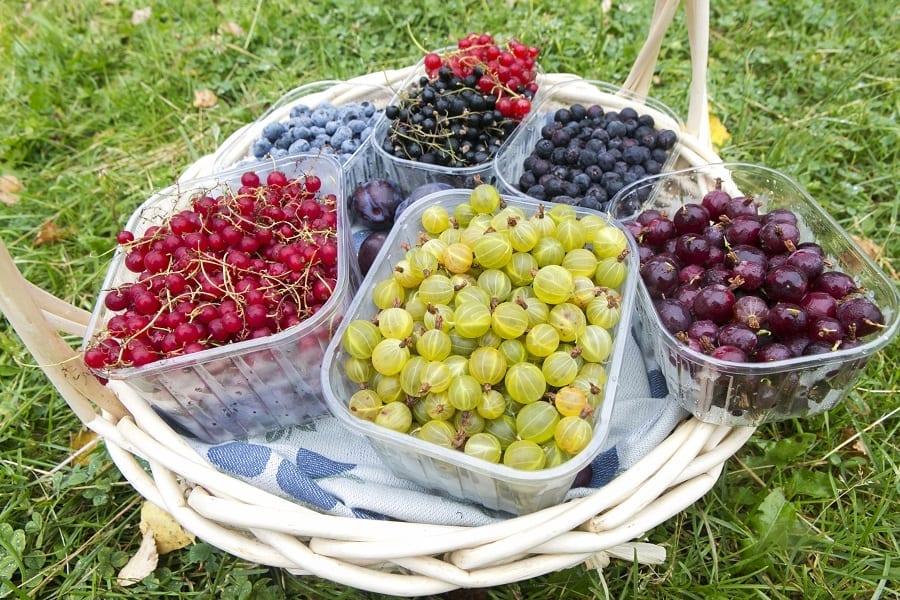 Frutti di bosco appena raccolti. In basso da sx a dx green gooshberry (uva crispa), ribes rosso, mirtilli, ribes nero e rosso, nome, saskatoon (bacca d'origine canadese). Azienda Tackork, a Nagu