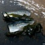 sardina_6