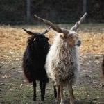 Pecore zackel