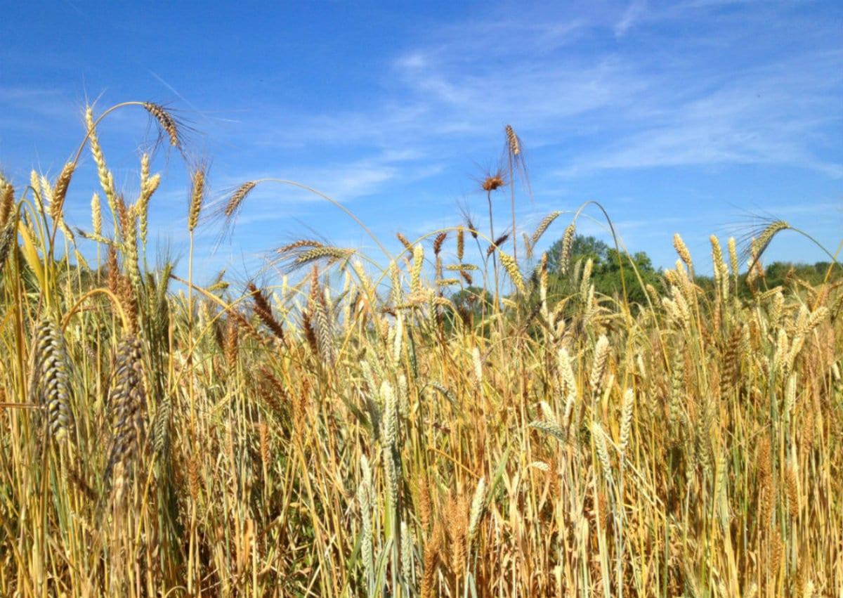 i-miscugli-nel-progetto-bio La mozione per limitare l'uso dei pesticidi e il test che li rintraccia nelle farine italiane
