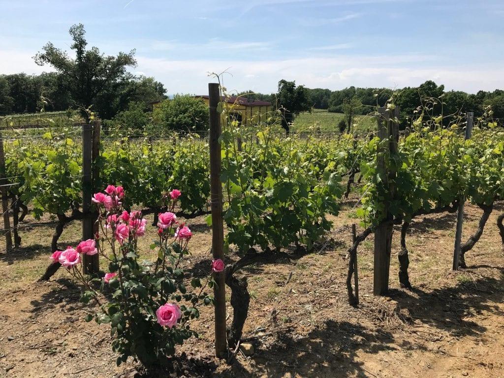 La Scolca,i vigneeti
