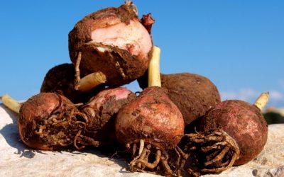Dall'orto pugliese fave e lampascioni: una volta cibo per poveri, oggi prelibatezze da re
