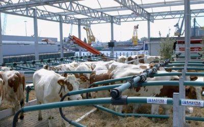 Le mucche sulla fattoria galleggiante a Rotterdam