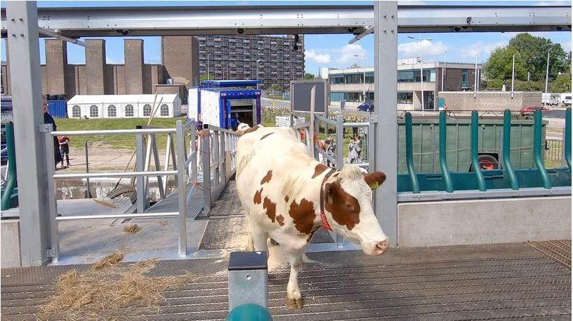 Una mucca bianca con macchia marroni che sale a bordo della floating farm