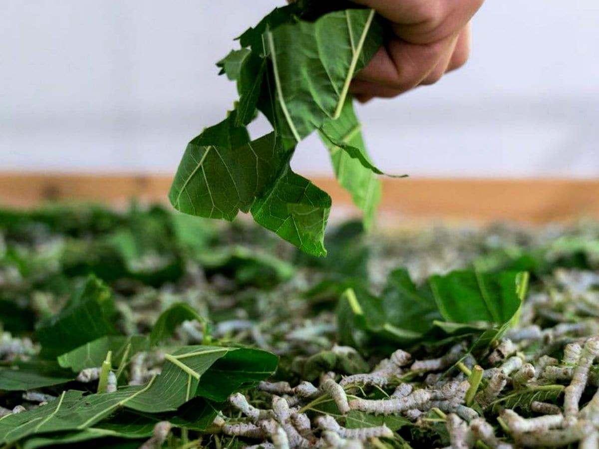 Nido di Seta_bachi mangiano le foglie di gelso
