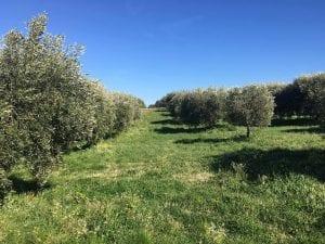 Un uliveto in Campania