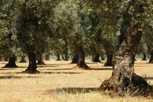 DOP Terra di Bari. Il carattere dell'olio pugliese