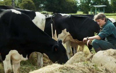 Un uomo e le sue mucche in un campo