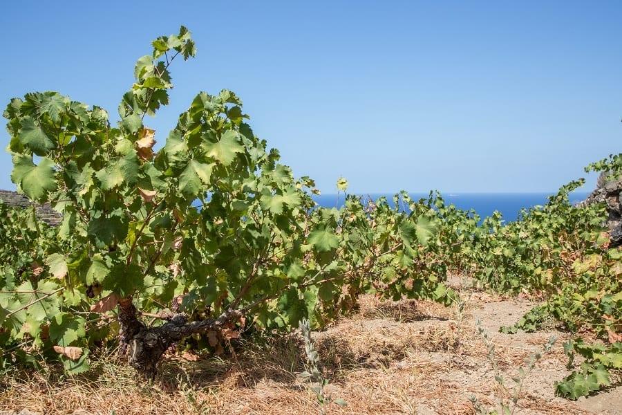 Vigneto a pantelleria