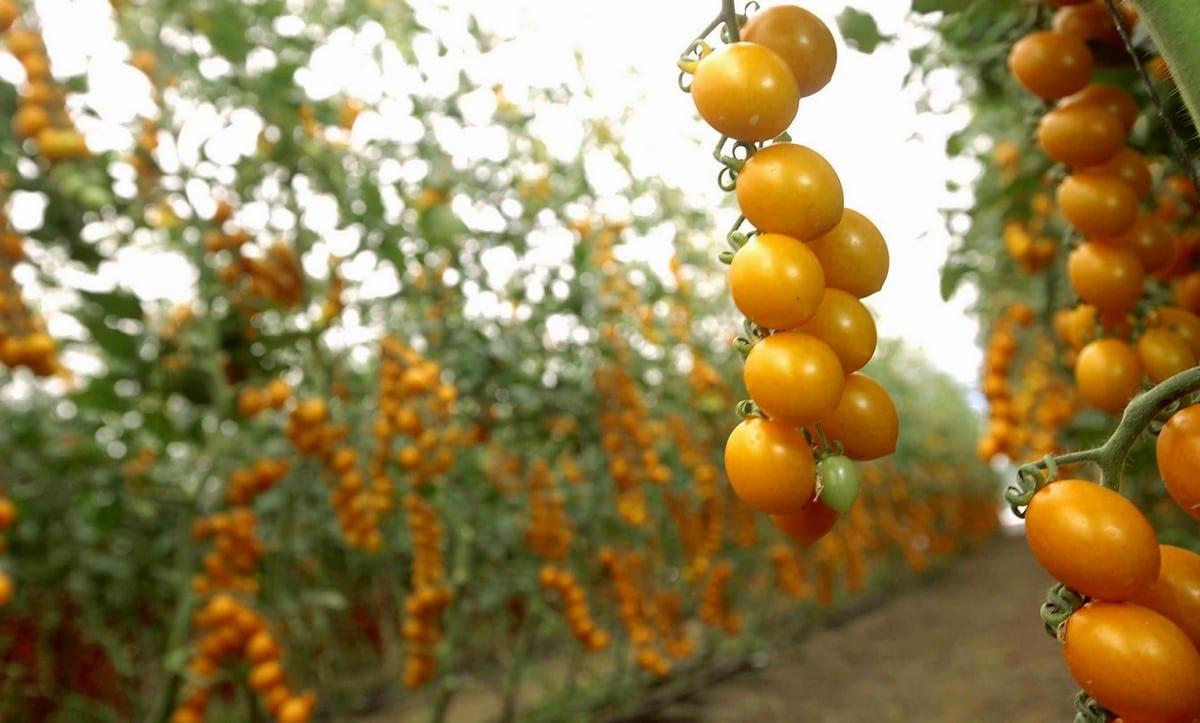 Pomodori gialli di Finagricola