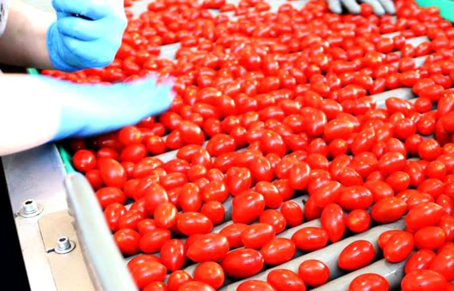 Pomodori coltivati in idroponica