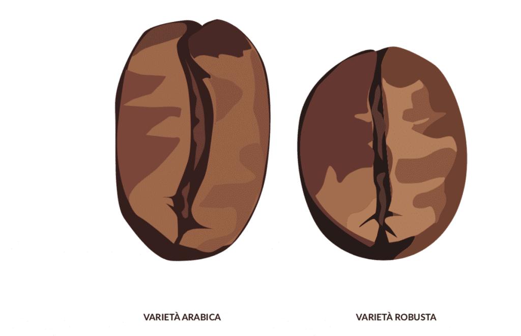 Chicco di arabica e chicco di robusta a confronto. diversi tipi di caffe.Immagin trattadal libro Mondo Caffè