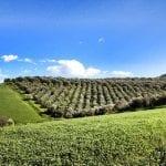 Olio calabrese: distesa di ulivi di Tenute Librandi Pasquale in Calabria