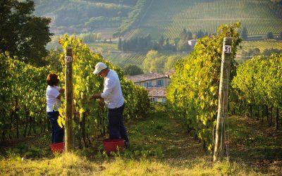 vendemmia di uva albana